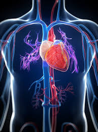cardiovascular system part 1 anatomy u0026 physiology u2013 homegrown