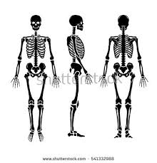 Anatomy Of The Human Skeleton Human Skeleton Stock Images Royalty Free Images U0026 Vectors
