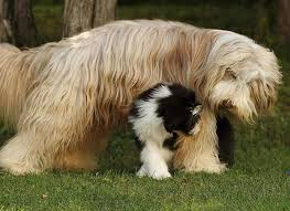 bearded collie brown bearded collie for the love of purebred dogs