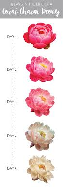 peonies wholesale of mayesh wholesale florist the of a coral charm peony