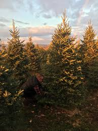 Finding The Perfect Christmas Tree Cut Your Own Christmas Tree