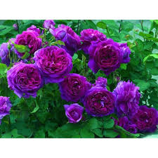 purple roses for sale climbing seeds buy seeds onlne seedarea