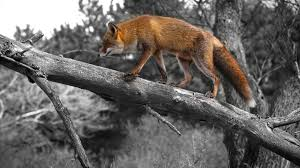 foxes tag wallpapers page 4 fox arctic foxes dog free puppy