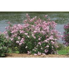 Flowering Privacy Shrubs - lilac shrubs trees u0026 bushes the home depot