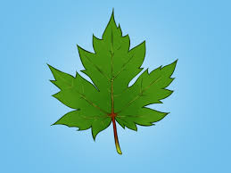 Maple Tree Symbolism by How To Draw A Maple Leaf 12 Steps With Pictures Wikihow