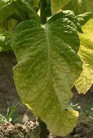 tobacco plant genus britannica
