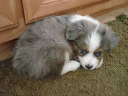 australian shepherd puppies 500 toy australian shepherd