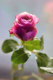Picture Of Roses Flowers - best 25 single rose ideas only on pinterest most beautiful