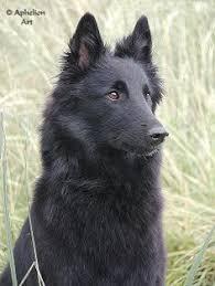 belgian shepherd tattoo belgian sheepdog bowwow canine cur doggy fido flea bag