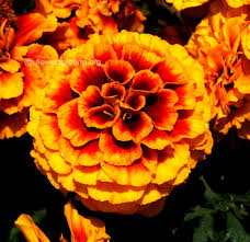 golden orange color flowers by color yellow yellow flowers images