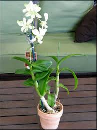 dendrobium orchids plant id flowers and foliage dendrobium orchid florida master