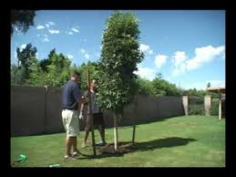 moon valley nurseries shows you how to stake a tree