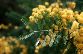 native plants in australia displaying the acacia family tree csiro
