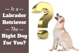 is a labrador retriever the right dog for me