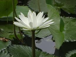Lotus Flower Bloom - free photo lotus flower pond plant bloom free image on