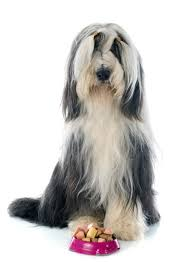 buy a affenpinscher breed of the week the bearded collie video simply for dogs