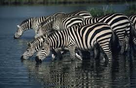 pattern formation zebra fantabulous exles that show mother nature wears mixed prints
