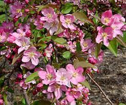 Profusion Flowering Crabapple - red splendor crabapple