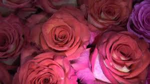 bulk roses high and orange magic bicolor roses bulk roses