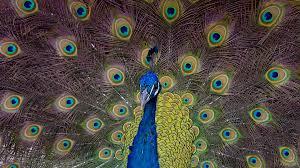 peafowl san diego zoo animals u0026 plants