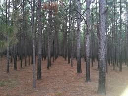 when should i thin my pine trees panhandle agriculture