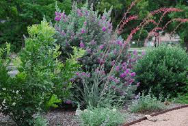 texas native plants front garden living fences are filling in u2026 xericstyle