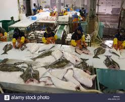 alaska native plants commercial halibut fishing alaska stock photos u0026 commercial