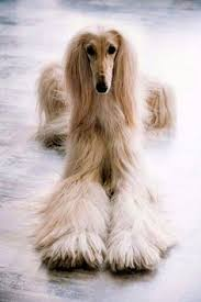 afghan hound hairstyles vintage afghan what a beautiful dog our loving pets