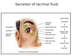 Eye Ducts Anatomy Anatomy And Physiology Of Eye