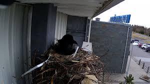 Selfoss Visit South Iceland Raventv Webcam Lets You To Follow A Raven U0027s Nest On Top Of A