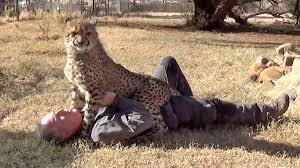 loved by affectionate african cheetah cat man cheetah are best