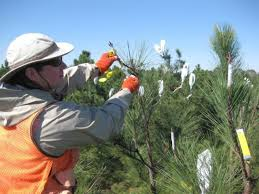 topgrafts and pollen bags cooperative tree improvement program