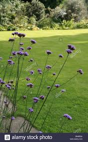 verbena bonariensis a tall flower with small purple flowers it