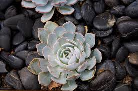 succulents meaning how to grow and care for jade plants