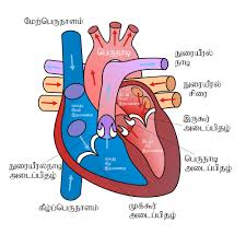 file diagram of the human heart ta svg wikimedia commons