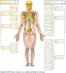 anatomy physiology skeletal system human anatomy library