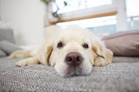 odeur d urine de sur canapé comment enlever facilement les poils de chien sur vos tissus