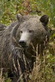 Hungry Bears Perishing On Western Montana Highways Local - montana bears in the news outdoors billingsgazette com