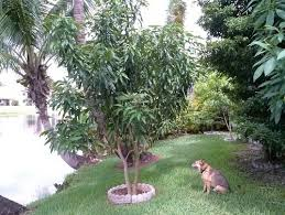 which is the prettiest mango tree for the front yard
