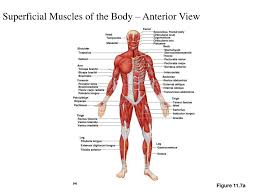superficial muscles of the body anterior view muscle archives
