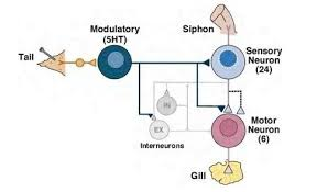 What Is Interneuron How Come The Information Doesn U0027t Get Mixed Up In An Interneuron
