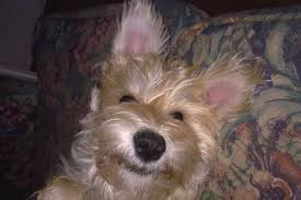 bichon frise jack russell cross temperament miniature schnauzer pictures and photos dog breed dog type