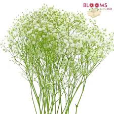 baby s breath flowers baby s breath flowers bulk bloomsbythebox