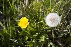 in san antonio common weeds are abundant abc blog