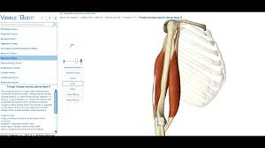 Bicep Innervation Biceps Braquial Youtube