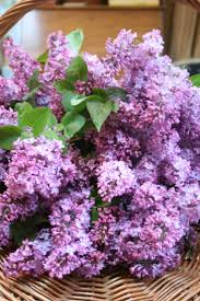 Lilca by 407 Best Aromatic Lilacs Images On Pinterest Flowers Lilac