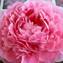 Peony Flowers by Paeonia Lactiflora U0027sarah Bernhardt U0027 Peony