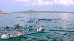 lots of porpoising spinner dolphins breaching off and catching