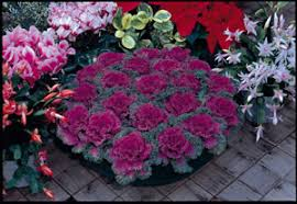 ornamental cabbage kale seeds from around the world in retail packs