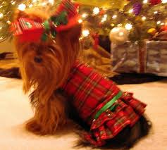 108 best yorkie images on yorkies dogs